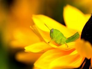 Postal: Saltamontes posada sobre una flor amarilla