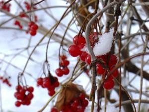 Bayas y nieve en las ramas de un árbol