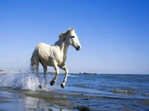 Postal: Caballo blanco corriendo por la playa