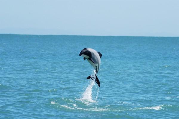 Un bello delfín saltando en el agua