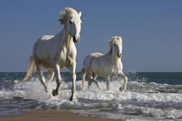 Dos caballos blancos corriendo por una playa