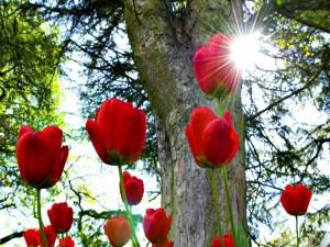 Tulipanes rojos iluminados por el brillante sol