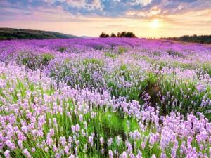 Campo con flores color púrpura iluminadas por el sol