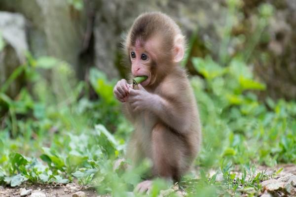 Mono bebé comiendo hojas
