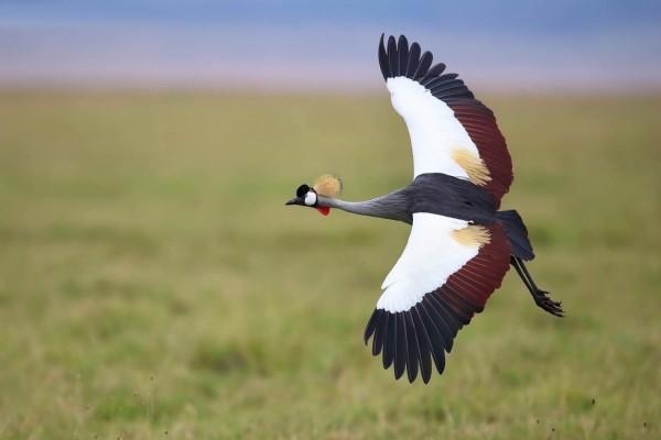 Hermosa grulla coronada volando