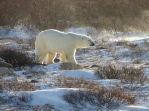 Postal: Oso polar caminando
