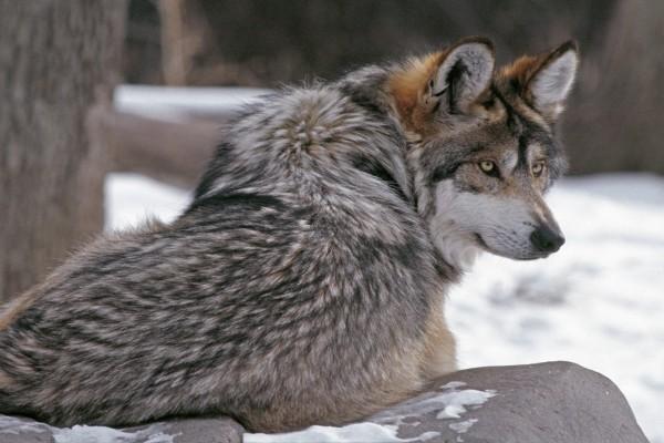 Un lobo en el bosque nevado