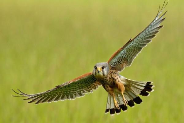 Un precioso halcón con las alas desplegadas