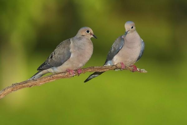 Dos palomas en la misma rama