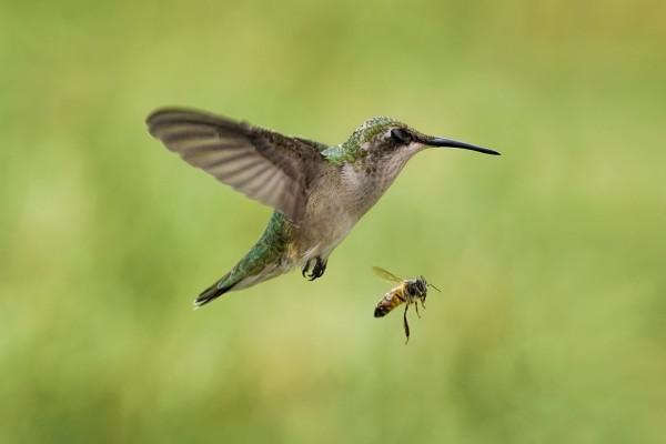 Abeja volando junto a un colibrí