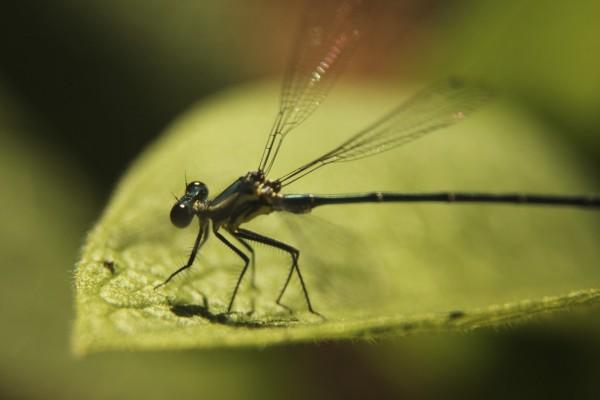 Una bonita libélula posando sus patas en una hoja verde
