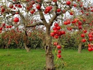 Espléndidas manzanas madurando en los árboles