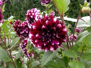 Postal: Hermosas dalias en el jardín