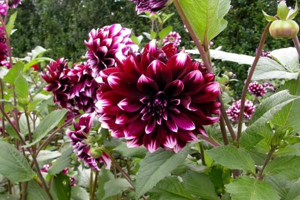 Hermosas dalias en el jardín