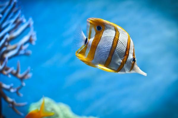 Un bonito pez con rayas doradas nadando en el fondo del mar