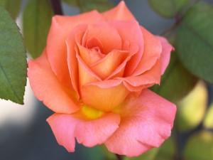 Postal: Hermosa rosa con pétalos naranja