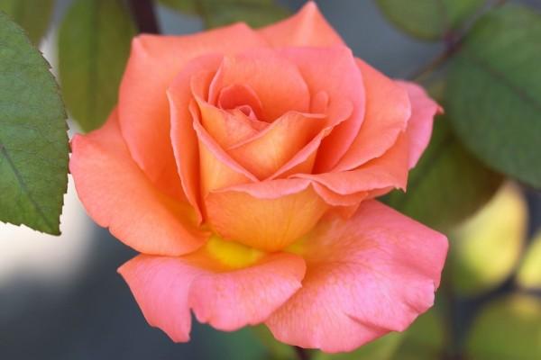 Hermosa rosa con pétalos naranja