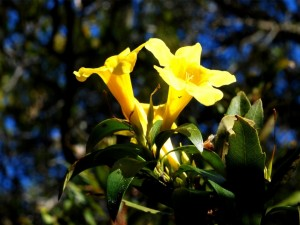 Maravilloso jazmín amarillo en la planta