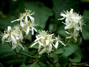 Espléndidas flores blancas en la planta