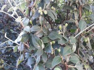 Postal: Arbusto con hojas verdes