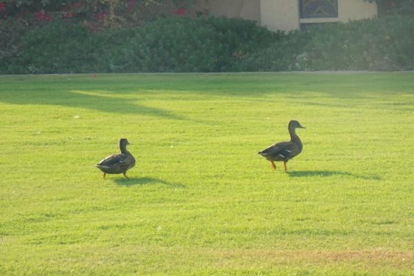 Dos patos caminando sobre la hierba