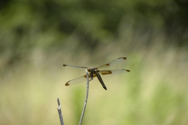 Una libélula sobre un palo