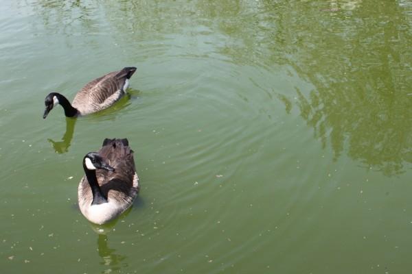 Dos hermosos patos en el agua