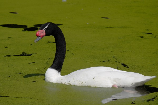 Un cisne de cuello negro