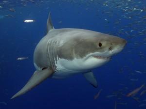 Gran tiburón rodeado de pequeños peces