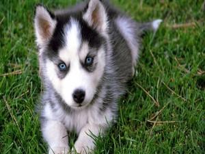 Tierna mirada de un cachorro de husky siberiano