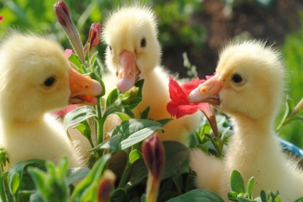 Tres patitos entre las flores
