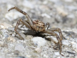 Araña cangrejo (Thomisidae) en Galicia (España)