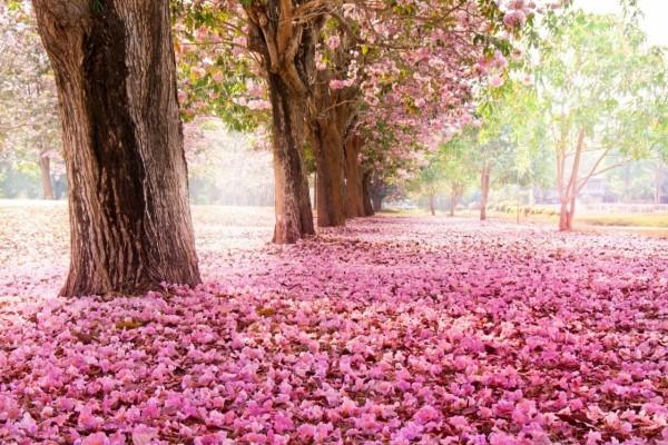 Flores de cerezo cubriendo el suelo y los árboles
