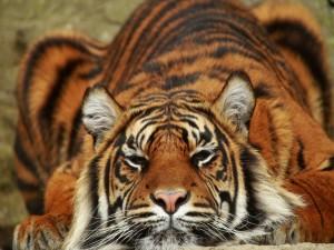 Tigre descansando en el suelo