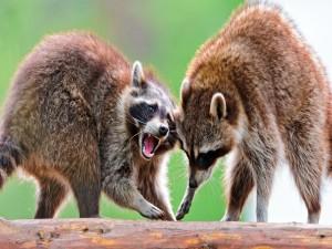 Una pareja de mapaches enojados