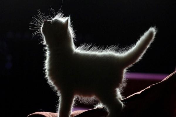 Silueta de un gatito