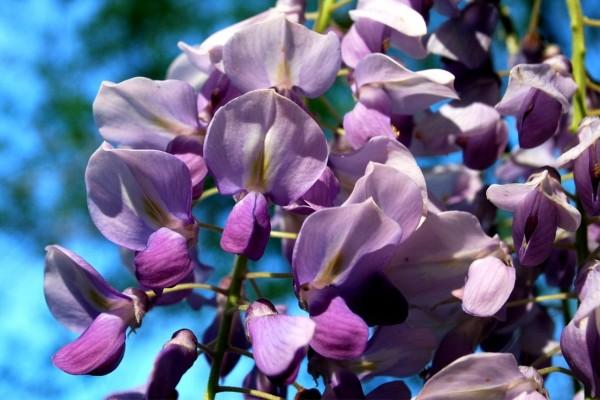 Bellas glicinas color púrpura