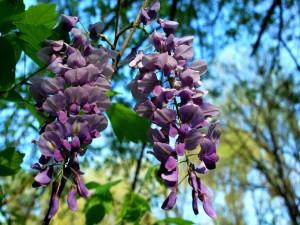 Maravillosas glicinas en la planta
