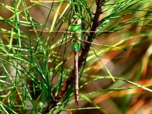 Postal: Libélula entre ramas y hojas verdes