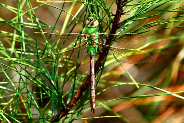 Libélula entre ramas y hojas verdes