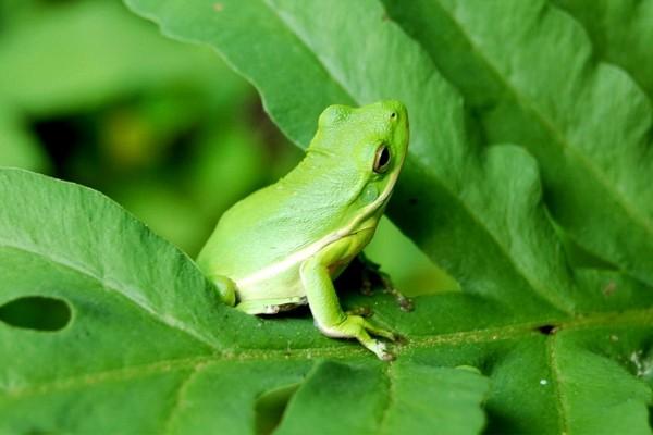 Curiosa rana verde sobre unas hojas