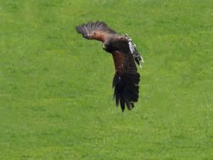 Un águila volando sobre la hierba