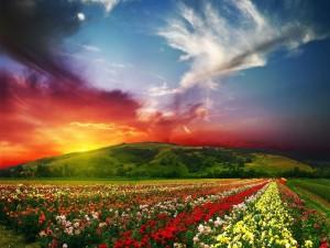 Un hermoso campo de rosas al atardecer