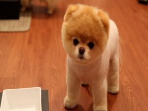 Un cachorro boo pomeranian