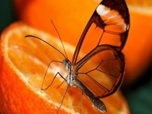 Postal: Mariposa con alas transparentes sobre una naranja