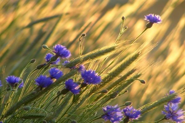 Campo con trigo y flores color púrpura