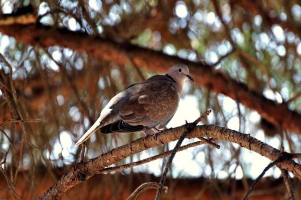 Paloma sobre la rama de un pino