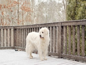 Caen copos de nieve sobre un hermoso perro blanco