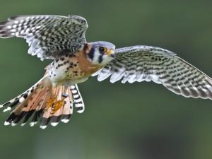 Postal: Impresionante halcón volando
