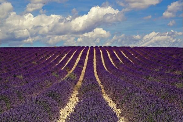 Espectacular campo sembrado con flores lavanda